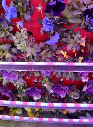 LED panels are part of the setup for a portable aeroponic farm inside a trailer at Indoor Farms of America at 4020 Ali Baba Lane in Las Vegas on Monday, Nov. 30, 2015. Aeroponics uses a mist to de ...