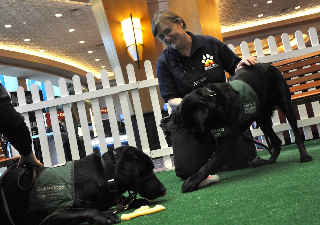 Linda Burley is leader of Desert Paws, Las Vegas Puppy Raisers, which is currently raising five puppies for Guide Dogs for the Blind. (Buford Davis/Las Vegas Business Press)