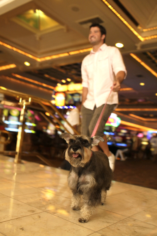 A guest walks his dog through Caesars Palace. (Courtesy Caesars Palace)