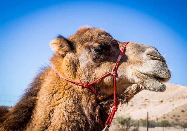 TONYA HARVEY/LAS VEGAS BUSINESS PRESS Camel Safari owner Guy Seeklus has a herd of 14 camels in Nevada and 15 back at his Washington farm. Also, there are three expecting mothers.