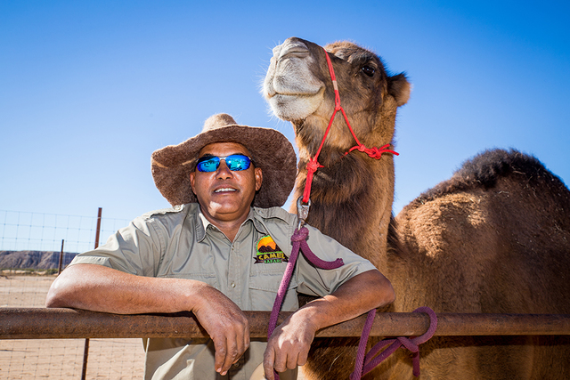 Trainer Sidi Amar is in charge of the camels that are taken out for rides at Camel Safari. (TONYA HARVEY/LAS VEGAS BUSINESS PRESS)
