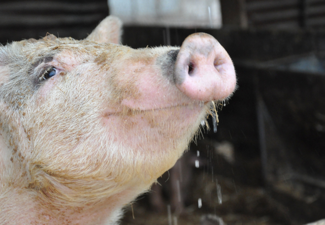 Pigs at R.C. Farms have been fed casino scraps as part of a recycle program owner Robert Combs initiated in the 1960s. Photo by Buford Davis | Business Press