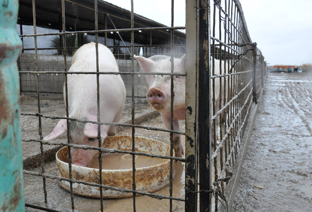 North Las Vegas' R.C. Farms has raised as many as 4,500 pigs at once time. The facility, which opened in 1963, will cease operations in January. Photo by Buford Davis | Business Press