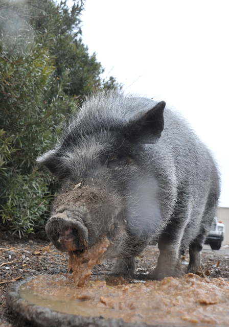 Grumpy the potbelly pig is a favorite of R.C. Farms owner Robert Combs. Photo by Buford Davis | Business Press