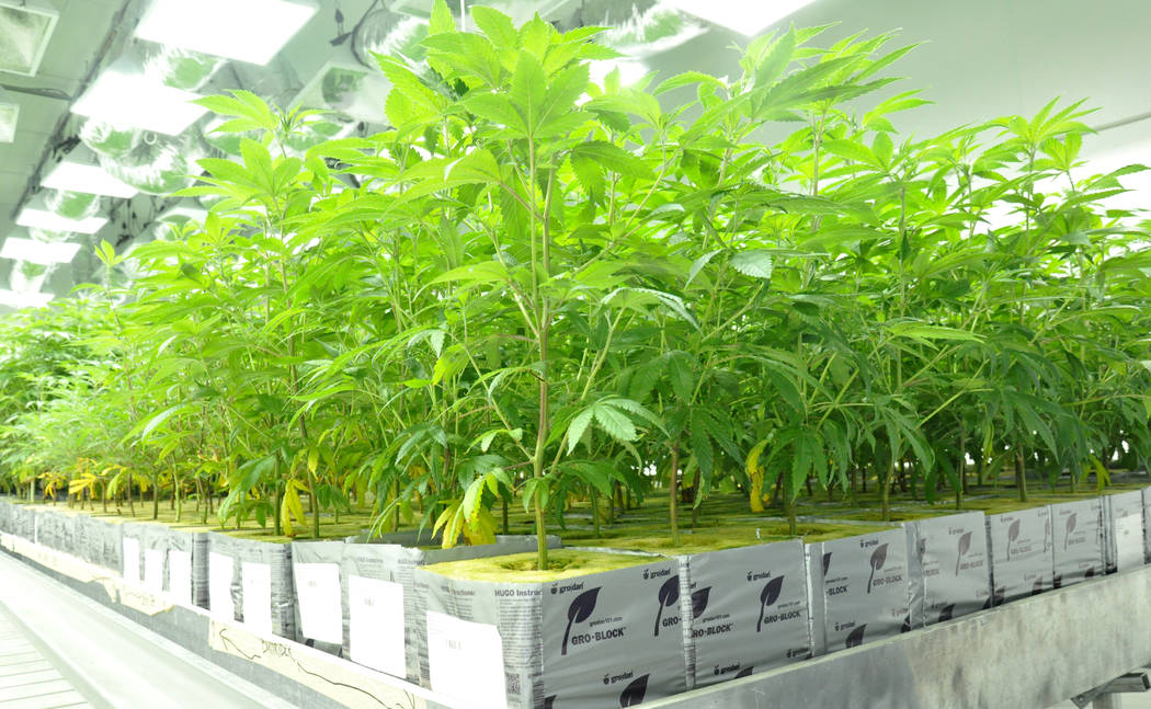 Buford Davis / Las Vegas Business Press A Co2 system enhances marijuana produced for commercial distribution at the 20,000 square foot Redwood cultivation facility in southern Las Vegas.