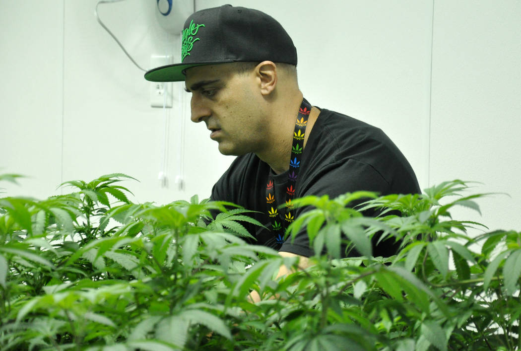 Buford Davis / Las Vegas Business Press Lead cultivator Jon Annalora inspects plants in their 'veg' stage at the  Redwood marijuana cultivation facility in southern Las Vegas.