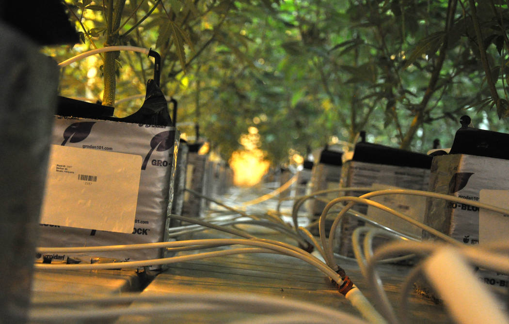 Buford Davis / Las Vegas Business Press The 20,000 square foot  Redwood marijuana cultivation facility in southern Las Vegas features drip irrigation and automated fertilization.