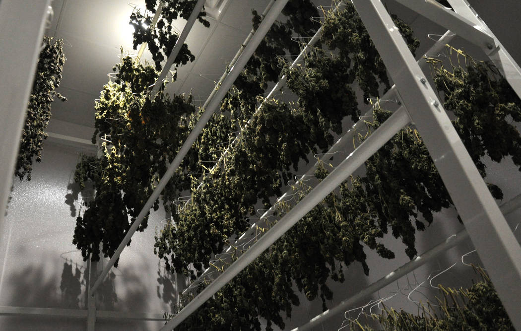 Buford Davis / Las Vegas Business Press Drying marijuana is processed for commercial distribution at the 20,000 square foot Redwood cultivation facility in southern Las Vegas.