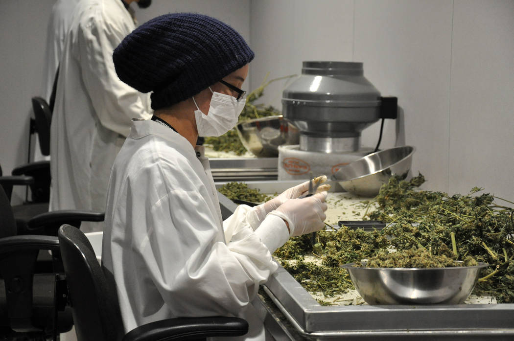 Buford Davis / Las Vegas Business Press A worker processes marijuana for commercial distribution at the 20,000 square foot Redwood cultivation facility in southern Las Vegas.